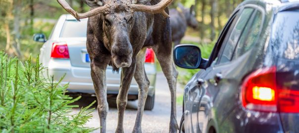 The Moose Test: Would Your Car Make The Grade?